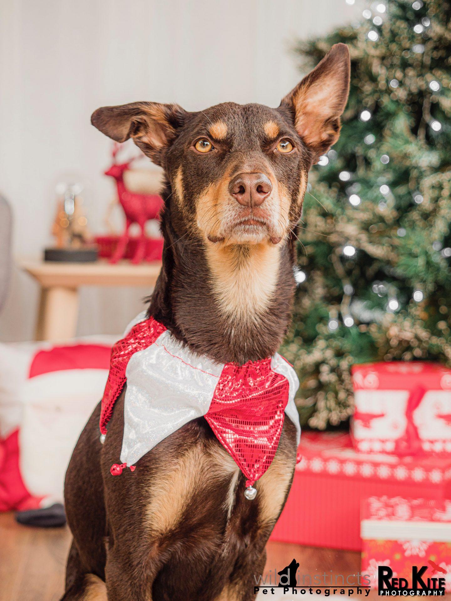 Pet Christmas Themed Photos Happening Next Week